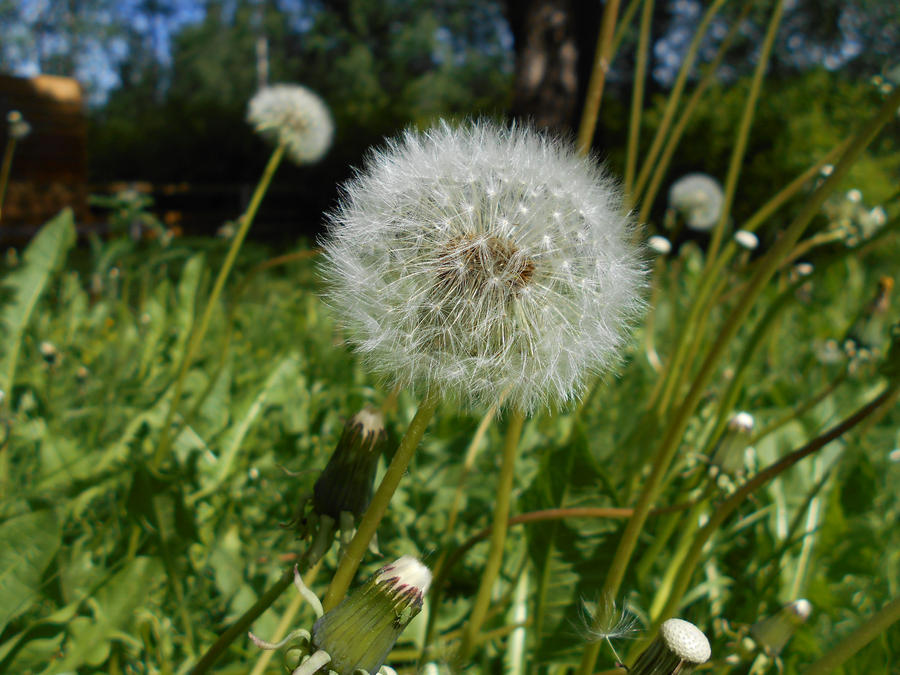 Fluffy dandelion by Alhippa