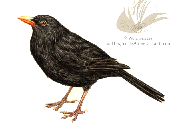 blackbirds drawing - photo #16