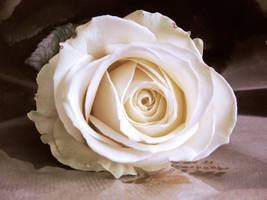 Rose by Indigo17