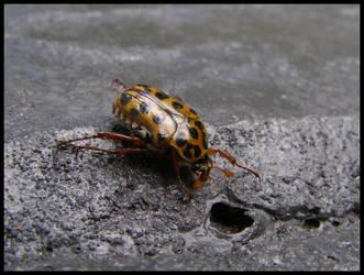 Christmas Beetle 10