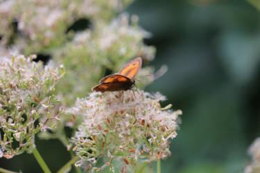 Butterfly 9 by swarfega