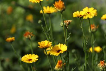 Field of Flowers by swarfega