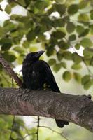 Crow by N-Deed