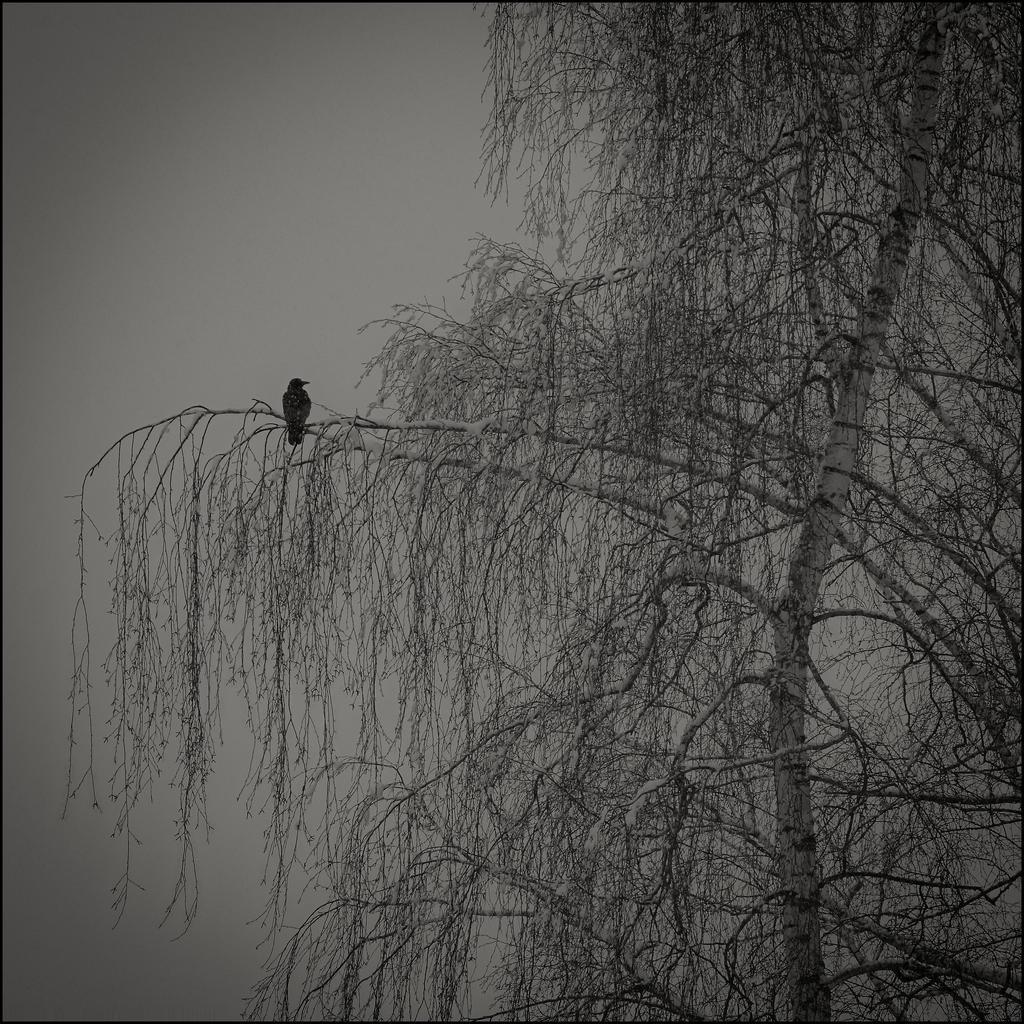 The black crow by LiveInPix