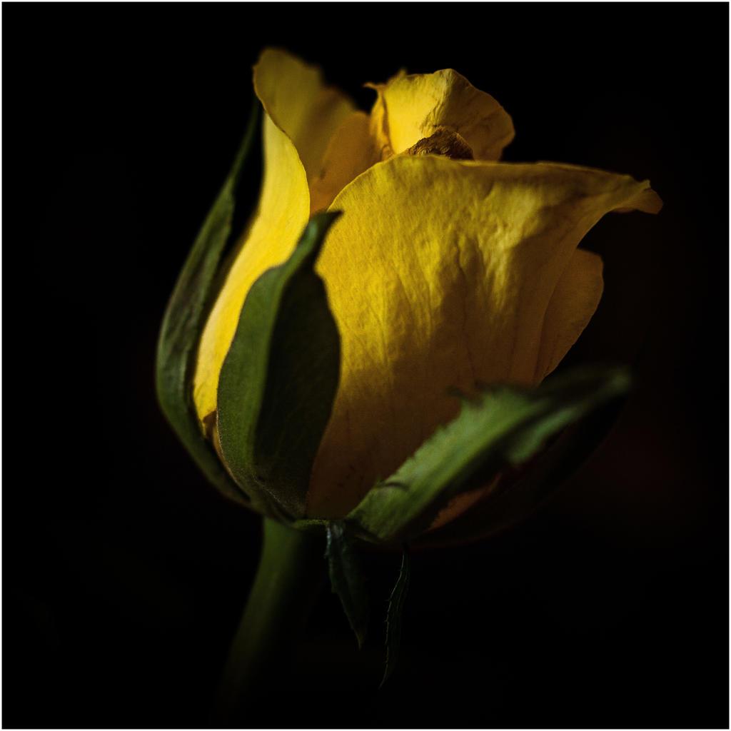 Yellow rose by LiveInPix
