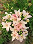 Hibiscus plant