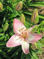 Hibiscus flower by DisneyPrincessNeeNee