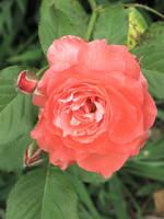 Orange rose with buds by DisneyPrincessNeeNee