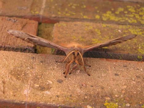 Polyphemus Moth close up