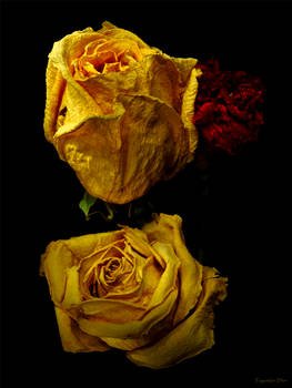 Old Yellow Roses