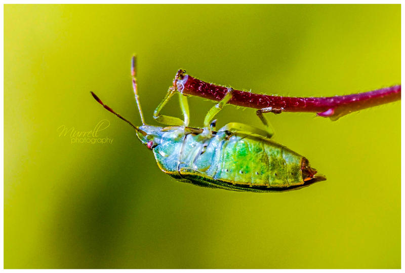 Common Shield Bug by SianMurrell