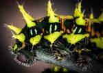 Antherina suraka L4 Caterpillar