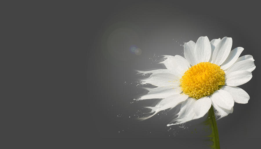 Daisyflower by Camiluchan