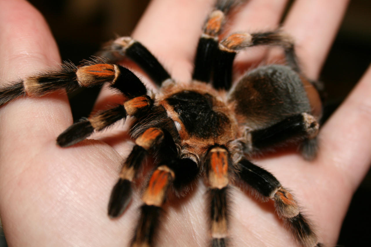 red knee tarantula (photography) by witherpaw on DeviantArt