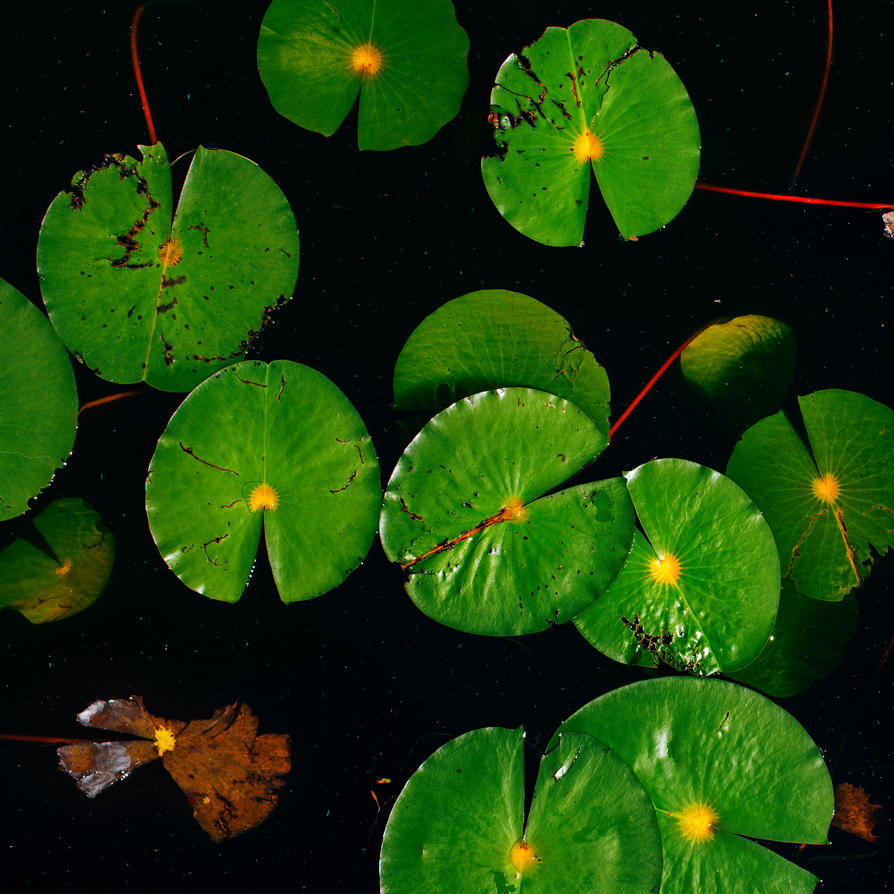 Lily Pads By Screenname911 On Deviantart