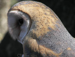 Barn Owl Profile by Ciameth