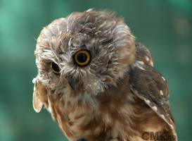 Scruffy Northern Saw-Whet Owl by Ciameth