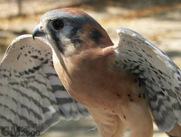 Fierce Pose For A Tiny Falcon by Ciameth