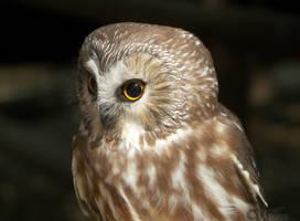 Sleek Northern Saw-Whet Owl by Ciameth