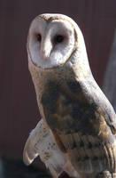 Lavender Barn Owl by Ciameth