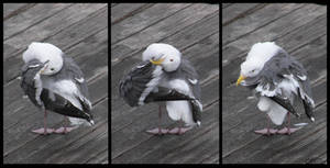 Western Gull Preening Sequence