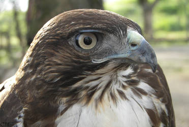 Red-tail Close Up by Ciameth