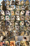 Barn Owl different angles ref