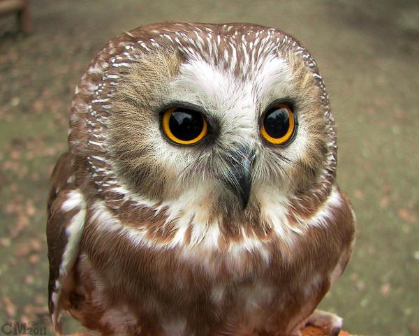 Little Round Brown Owl By Ciameth On Deviantart