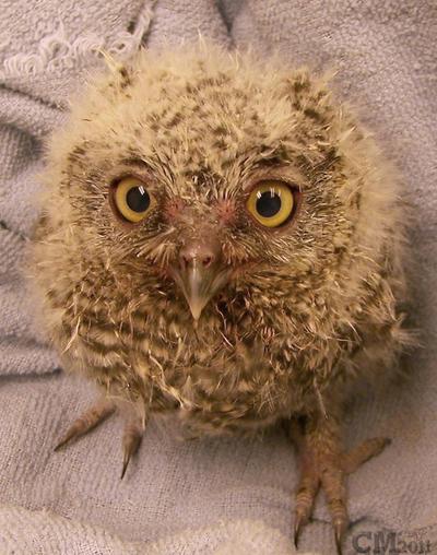 Baby Western Screech Owl