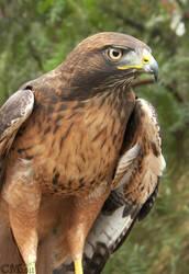 Handsome Hawk by Ciameth