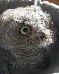 Month-old Western Screech Owl by Ciameth