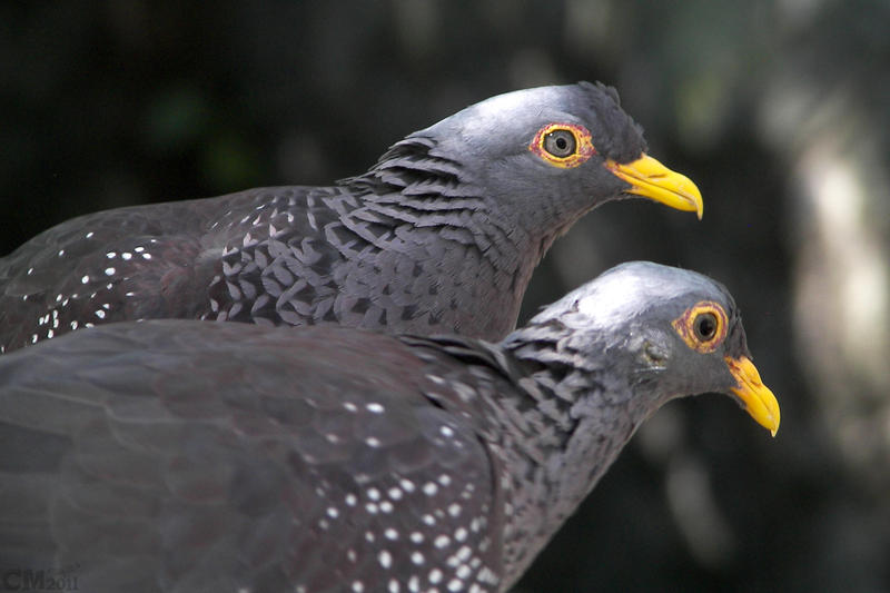 African Olive Pigeon Pair by Ciameth