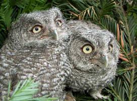 Western Screech Owl Siblings 1 by Ciameth