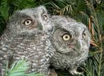 Western Screech Owl Siblings 1