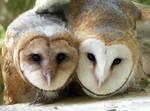 Barn Owl Siblings