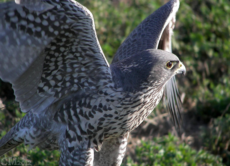 White Gyrfalcon Wings