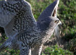 Gyrfalcon With Wings Spread