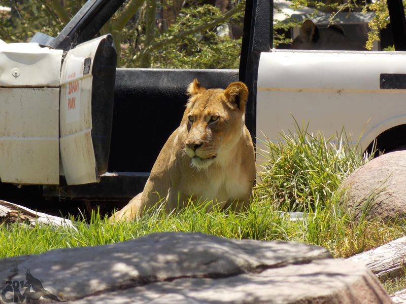 Lionesses in the Car by Ciameth