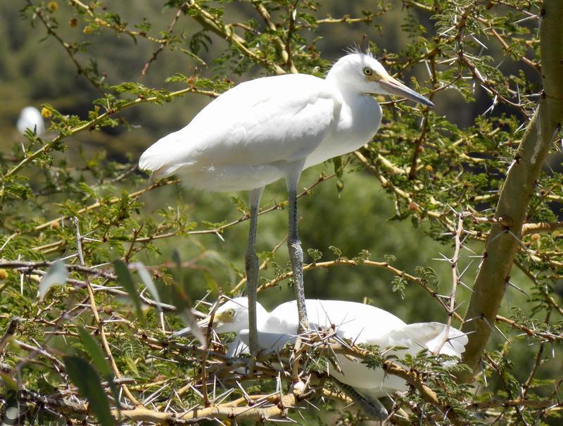 Acacia Cattle Egrets by Ciameth