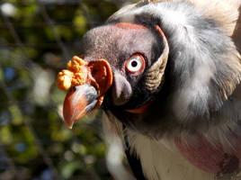 Bonita Vulture 1