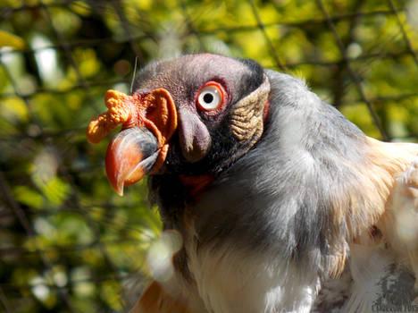 Bonita Vulture 2