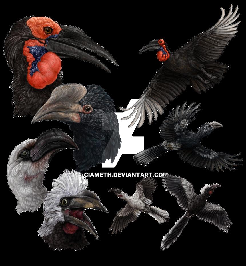 Four African Hornbills by Ciameth