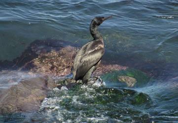 Cormorant's First Swim by Ciameth