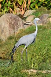 Paradise Crane by Ciameth