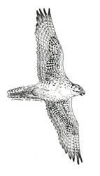 Endangered Inktober - Saker Falcon