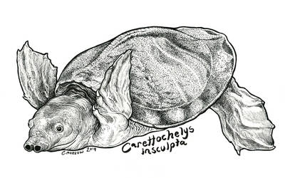 Endangered Inktober - Pig-nosed Turtle