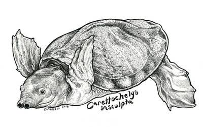Endangered Inktober - Pig-nosed Turtle