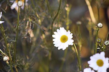 Daisies by AinsleyFerin