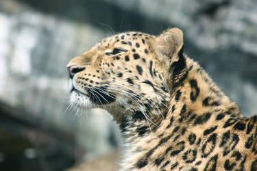 Jaguar by AinsleyFerin