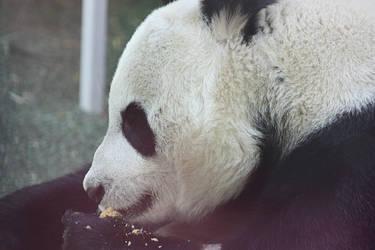 Sweetie the Panda by AinsleyFerin